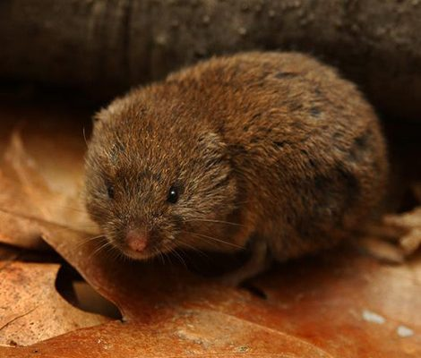 Vole Control | Expert Pest Management